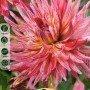 Dalia cactus Alain Mimoum 1 ud