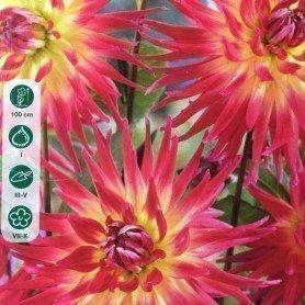 Dalia cactus Vuurvogel 1 ud