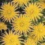 Dalia cactus enana Yellow Happiness 1 ud