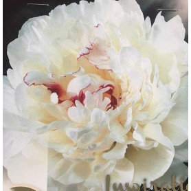 Peonia lactiflora Festiva maxima