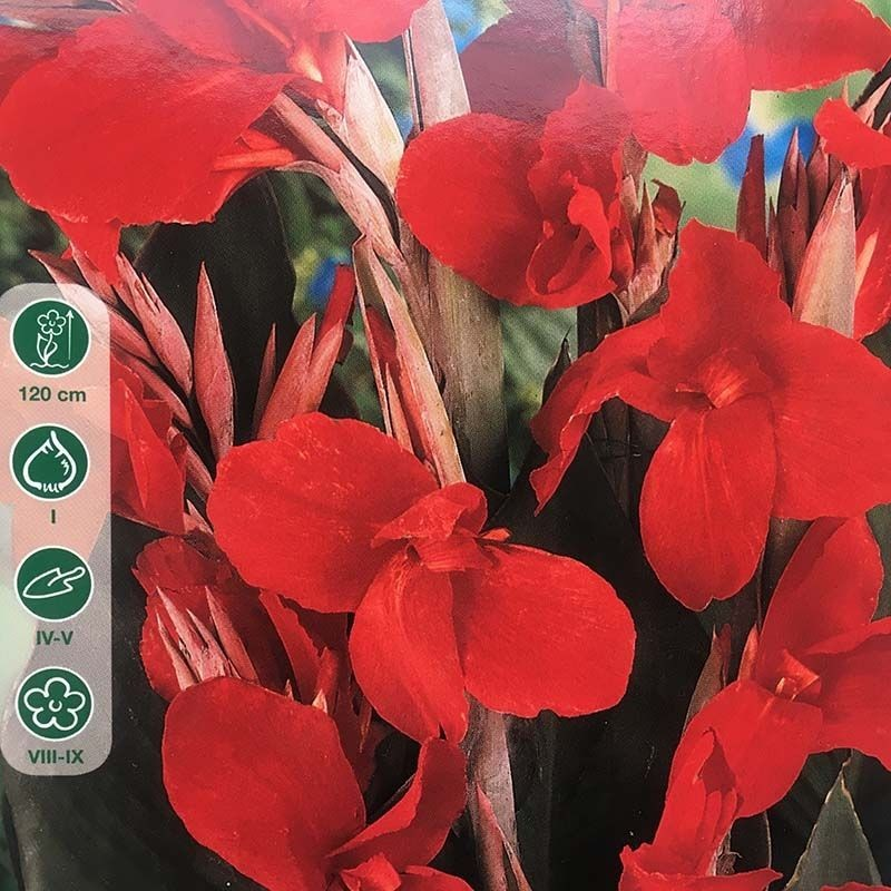 Canna Ambasador hoja marron/red