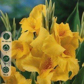 Canna Indica Hoja Verd/ Yellow