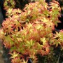 Acer palmatum Little princess