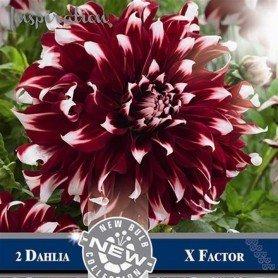 Dalia decorativa X factor