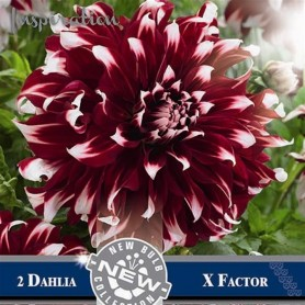 Dalia decorativa X factor