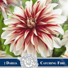 Dalia decorativa Catching Fire