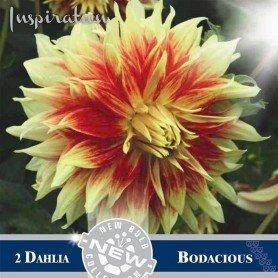 Dalia Decorativa Bodacious
