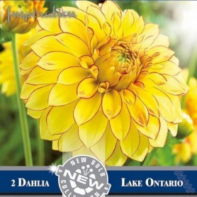 Dalia decorativa Lake Ontario