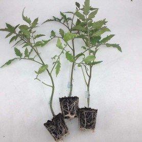 Plantero Tomate hibrido injertado