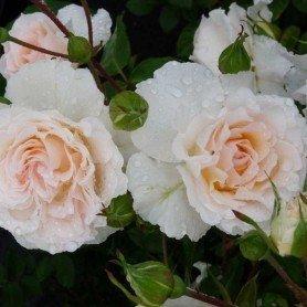 Rosa Poustinia ®