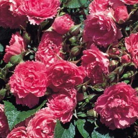 Rosa Pink Grootendorst (Ru)