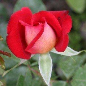Rosal Gypsy