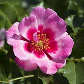 Rosa Queen Babylon