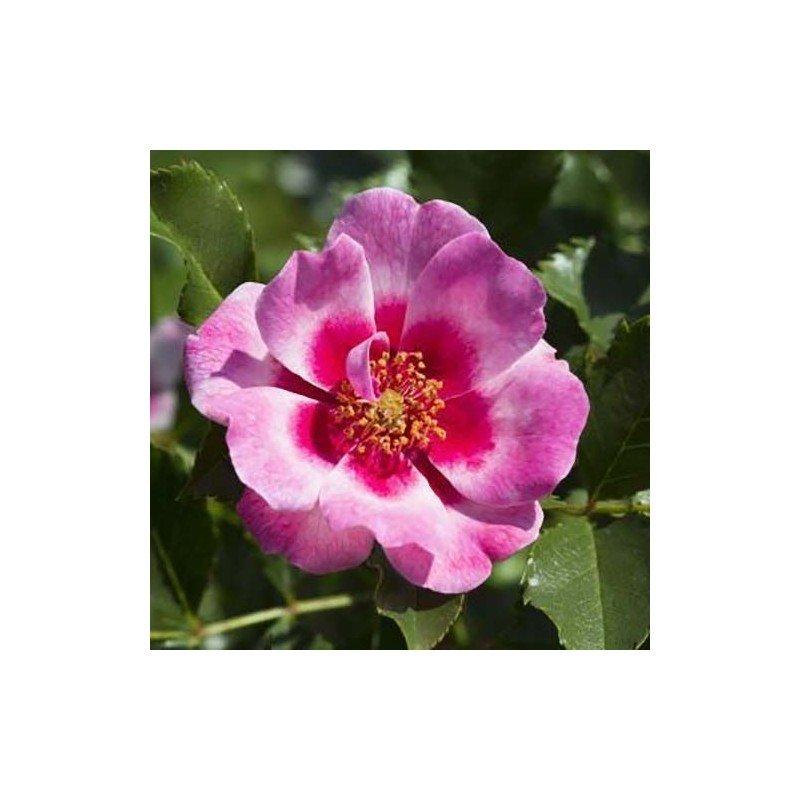 Rosa Queen Babylon