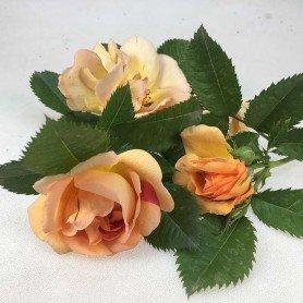 Rosa Maigold