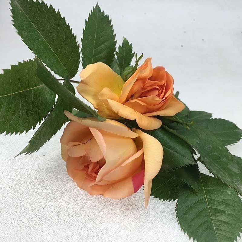 Rosa Maigold clg ct