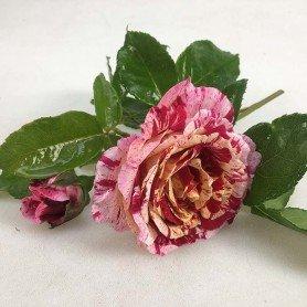 Rosa abracadabra
