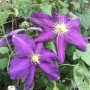 Clematis Luther Burbank 2L
