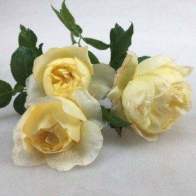 Rosa Vanessa Bell (Auseasel)