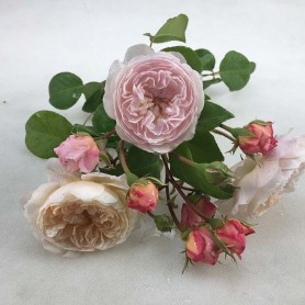 Rosa The Albrighton ramblers T
