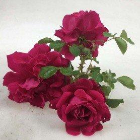 Rosa Tam O Shantet