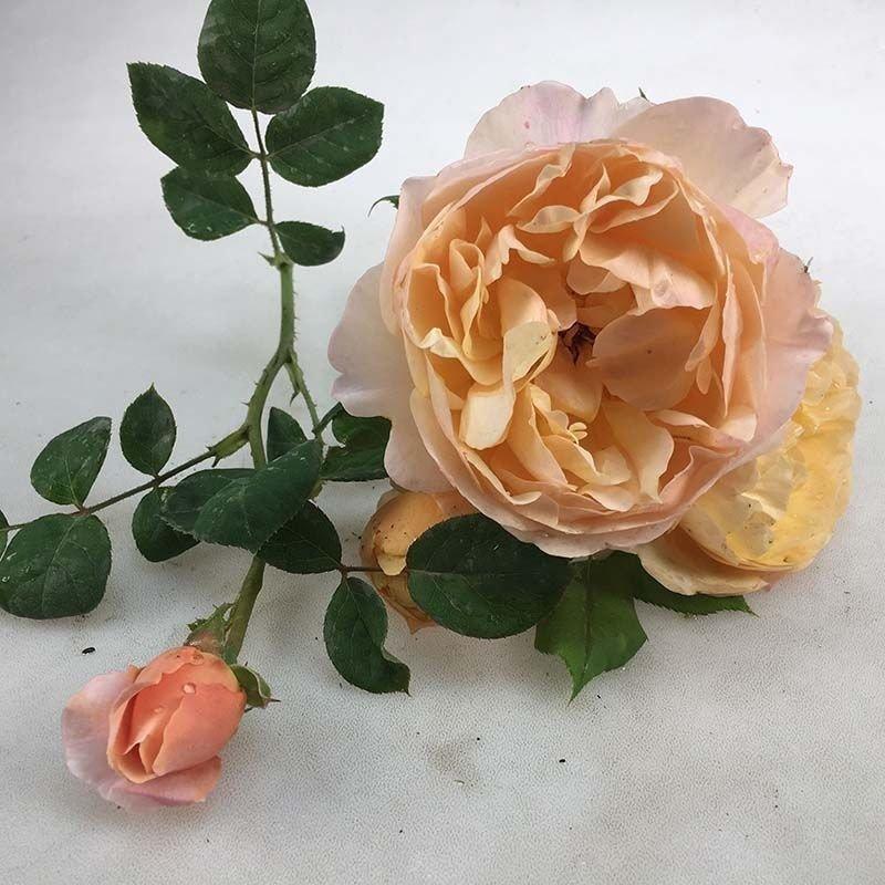 Rosa Roald Dahl
