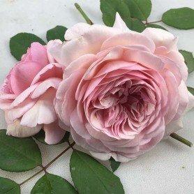 Rosa A Shropshire lad  T