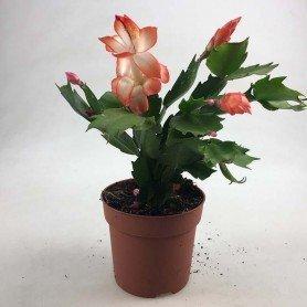 Rhipsalidopsis, Cactus de Navidad