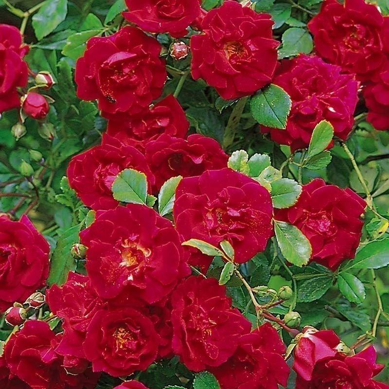 Rosa Crimson shower