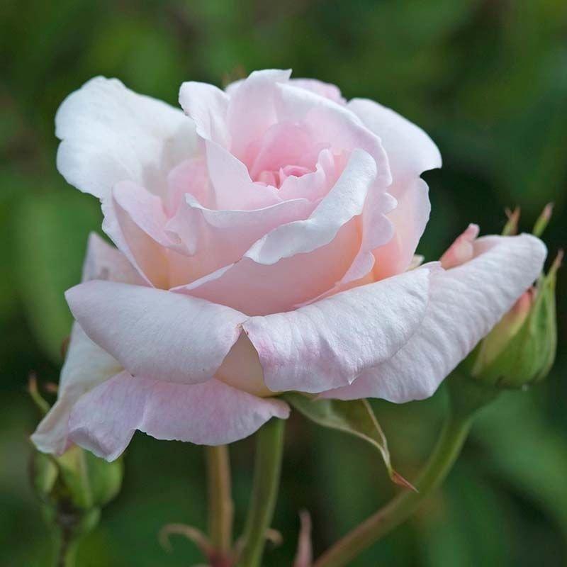 Rosal Lady Silvia
