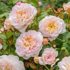 Rosa Emily Brontë