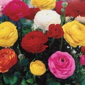 Ranunculus flor de peonía mix