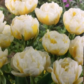 Tulipan Flaming Evita