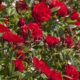 Rosa Tilt Symphonie