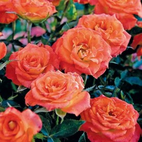 Rosa Mandarine Symphonie
