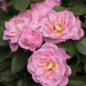 Rosal Belle Shymphonie