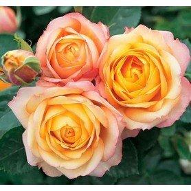 Rosal Baby romantica