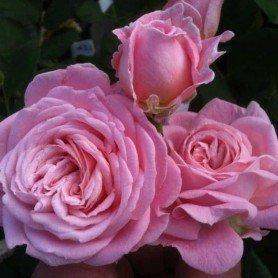 Rosa Rosengräfin Marie Henriette