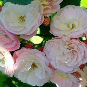 Rosa Bouquet Parfait