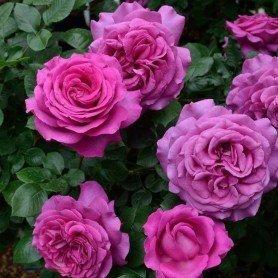 Rosa Chartreaus de Parma