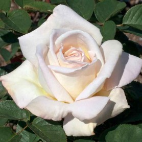 Rosa Jardins de Bagatelle