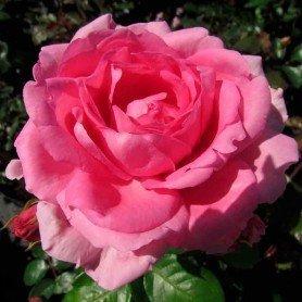 Rosa Millie Rose