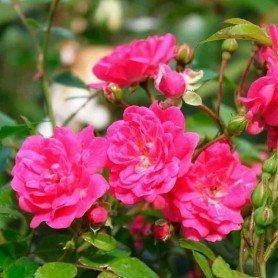 Rosal Lovely Fairy Spevu ct