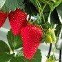 Plantero Fresas 4 Estaciones