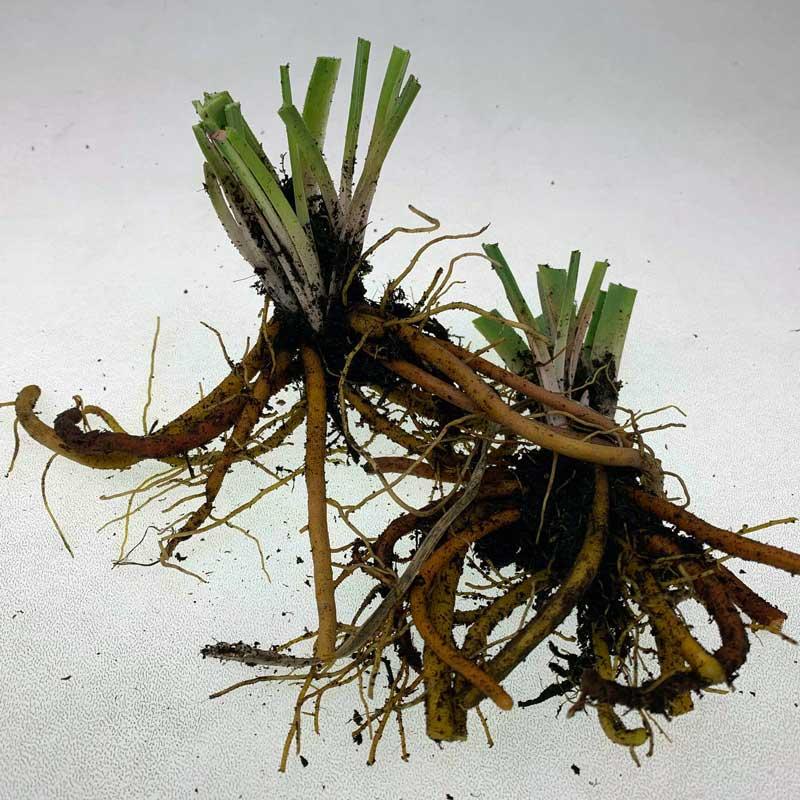 kniphofia varia, rizoma