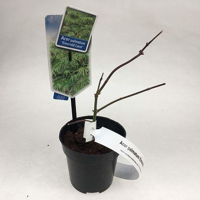 Acer palmatum Emerald- Lace