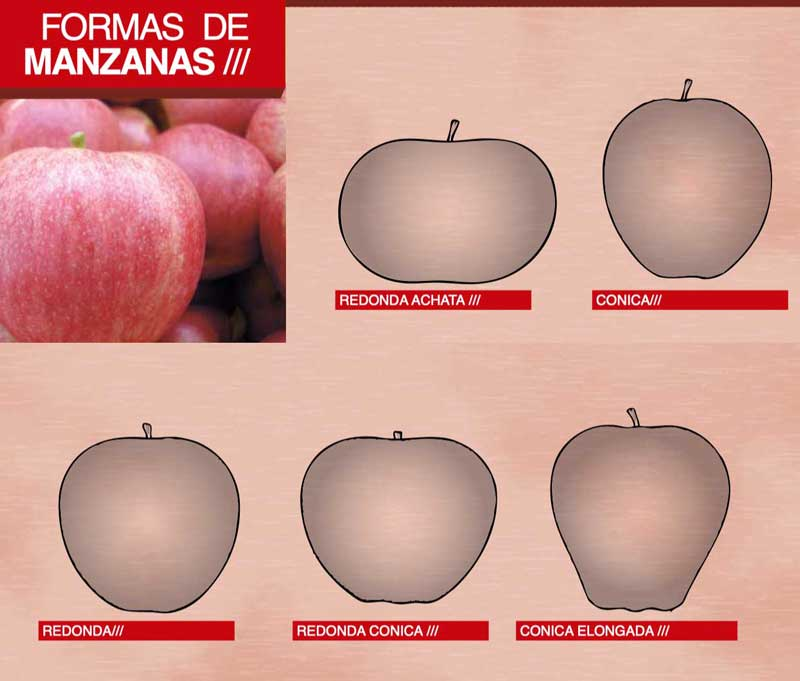 Formas del fruto de la manzana
