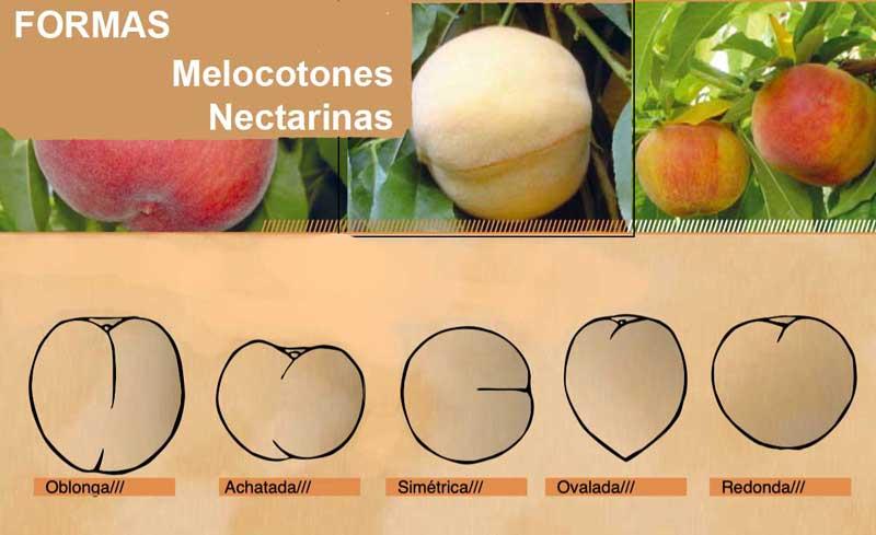 Forma de los melocotones y nectarinas
