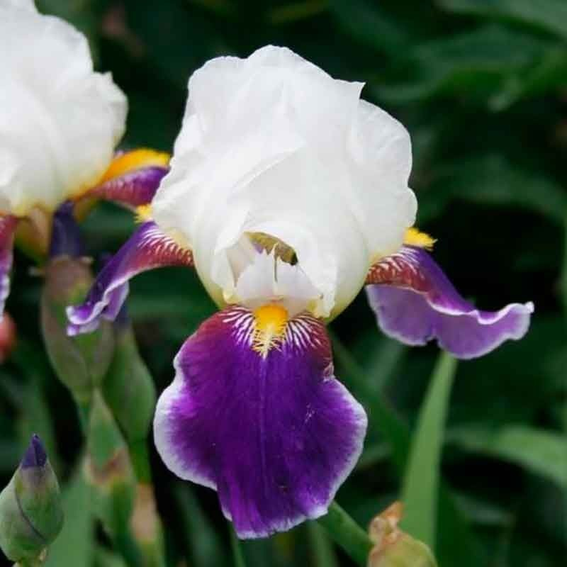 Iris Germanica Headlines