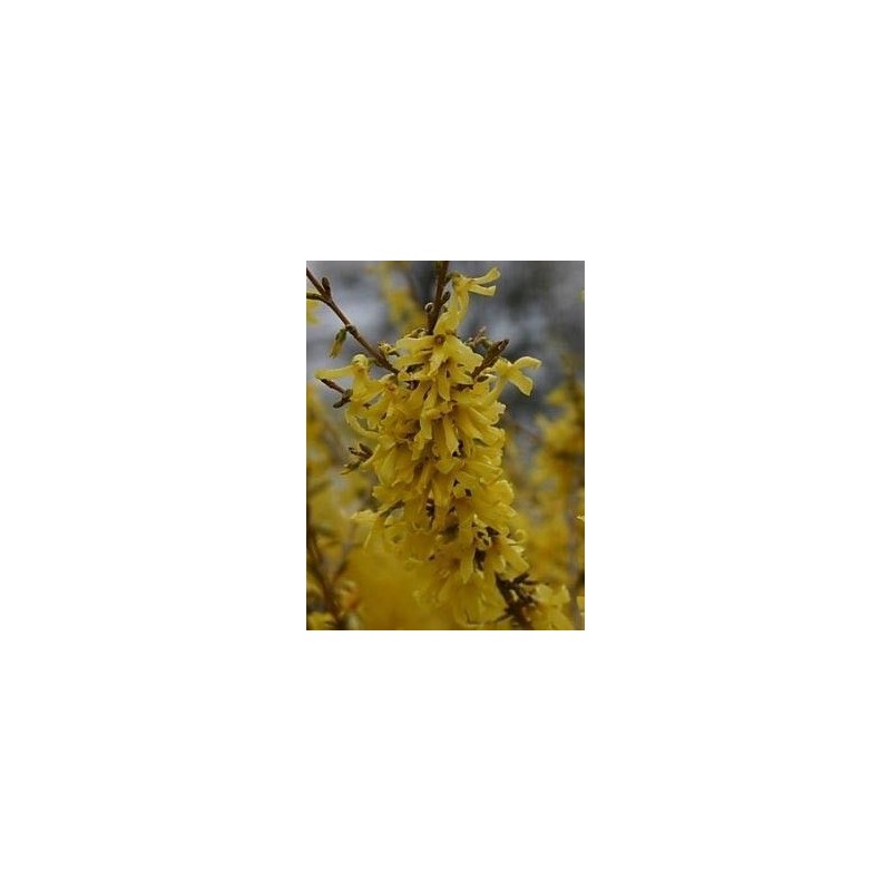 Forsythia maree d or C-14